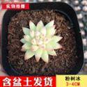 尚芳园新款【粉树冰3-4CM】多肉植物组合盆栽