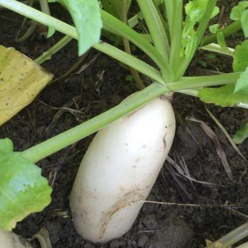 新鲜大白萝卜天然绿色蔬菜8斤装包邮