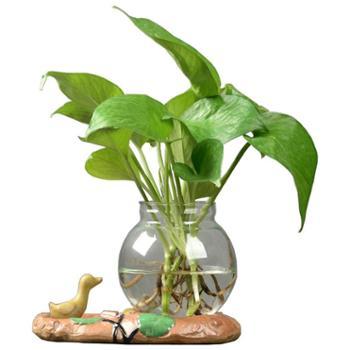 水培植物大玻璃瓶水养植物绿萝透明花瓶养花器皿家用客厅盆器摆件